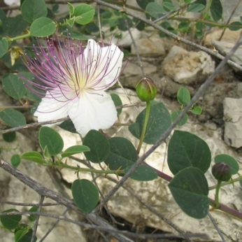 刺山柑Capparis spinosa