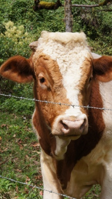 長得很憨厚的一頭牛!
